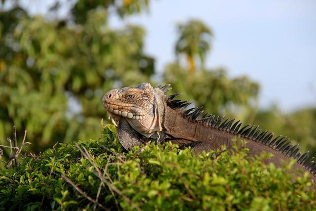 La Guadeloupe est peuplée d'iguanes.