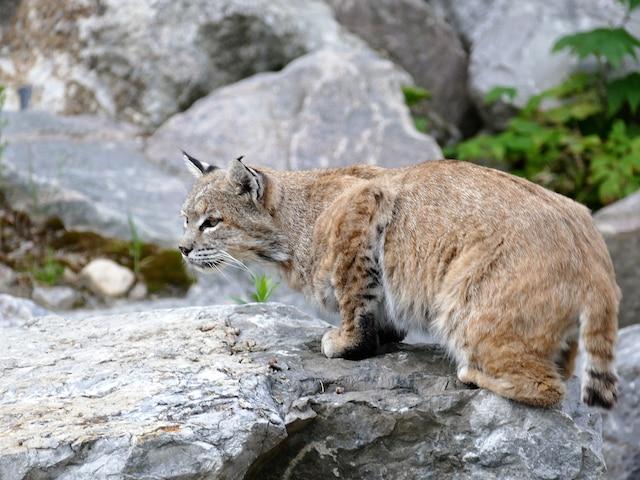 Les lynx du Canada font partie  des 75 espèces du zoo.