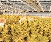 Le Journal a visité une usine de cannabis de l'entreprise gatinoise Hexo la semaine dernière. Le gouvernement, qui s'approvisionnera chez des producteurs comme Hexo, s'est lancé dans une guerre de prix pour concurrencer le marché noir.
