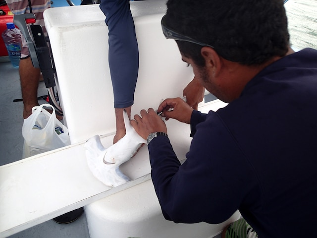 Un biologiste implante la puce traceur dans abdomen d'Edouardo.