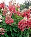 Les hortensias paniculés, véritable apothéose estivale