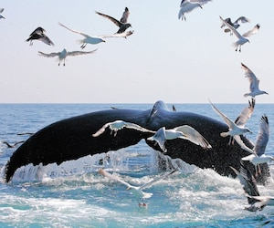 Une baleine au large de Provincetown.