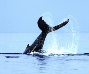 Baleine 3 - AML