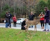De nombreux visiteurs et citoyens nourrissent les chevreuils à Mont-Tremblant. La municipalité veut que les bêtes quittent la ville.