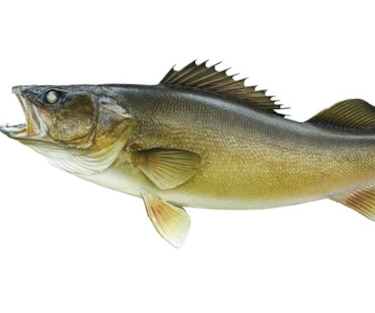 Big walleye isolated on a white background