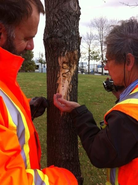 Robert Lavallée, chercheur au Service canadien des forêts (SCF), et Claude Guertin, chercheur à l'Institut national de la recherche scientifique (INRS), en train d'inspecter un frêne attaqué par l'agrile.