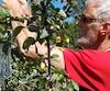 Éloi Vigneau, le propriétaire du verger Pomméloi, a eu l'idée de faire pousser les pommes dans une bouteille pour les protéger du vent.