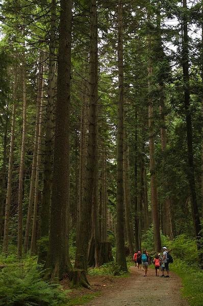 On côtoie les  arbres géants de  Stanley Park.