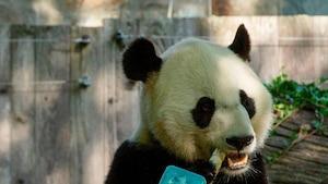 Image principale de l'article Bei Bei, le panda géant, fête ses 4 ans