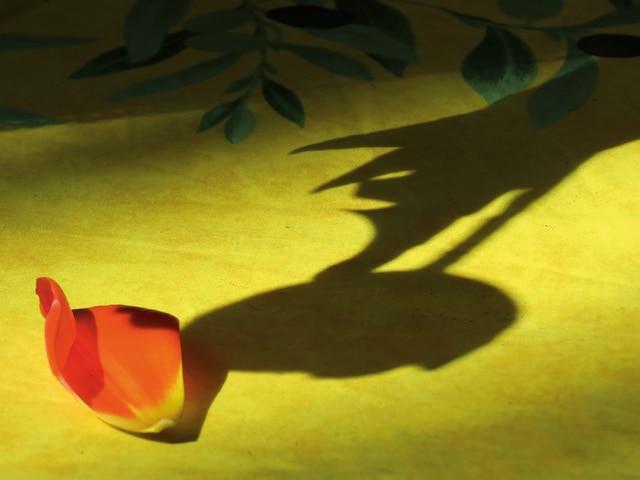Une ombre de pétale de tulipe.