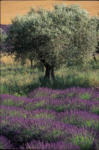 Champ de lavande en Provence.