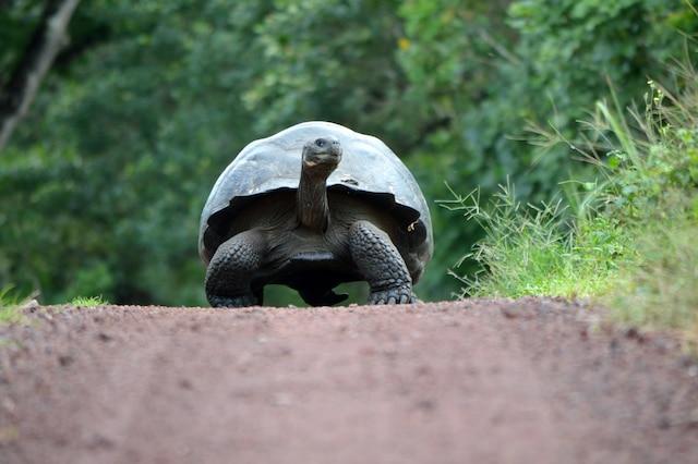 Une tortue géante rencontrée en randonnée.
