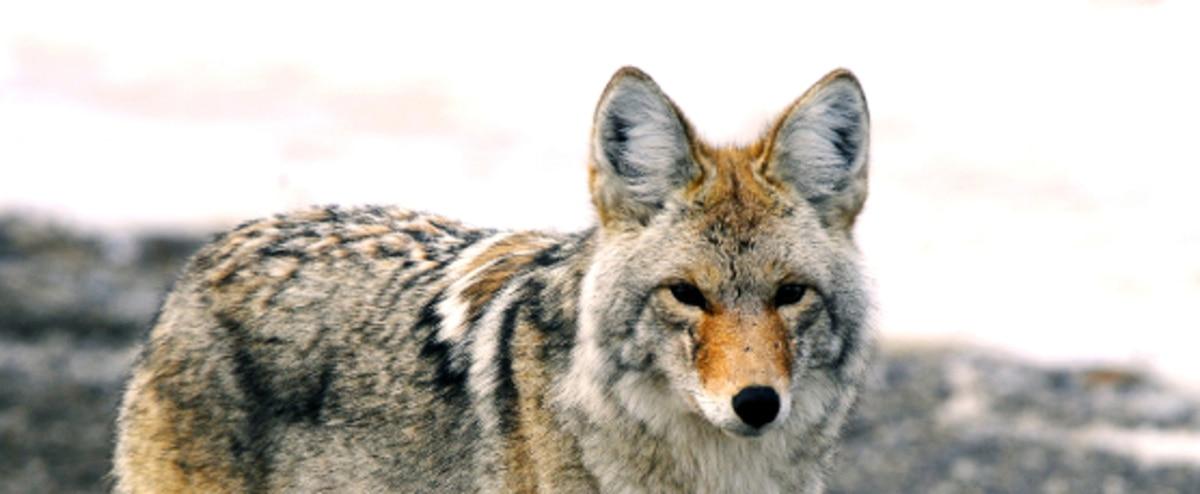 coyotes montr al passe un contrat avec un trappeur jdm. Black Bedroom Furniture Sets. Home Design Ideas