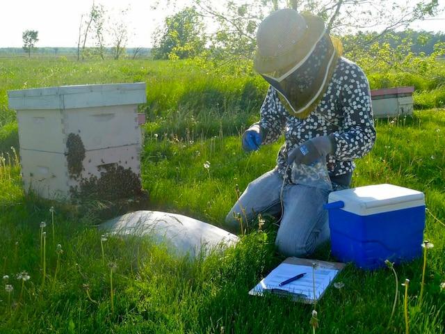 Olivier Samson-Robert étudie les abeilles mortes près de leur ruche.