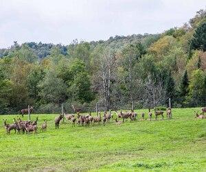 Un deuxième cas de la maladie débilitante chronique du cervidé a été détecté sur la ferme d'élevage Harpur Farms, située à Grenville-sur-la-Rouge, dans les Laurentides. Cette fois, il s'agit d'une femelle adulte.
