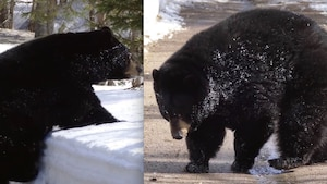 Le 1er ours noir tout endormi sort de sa tanière