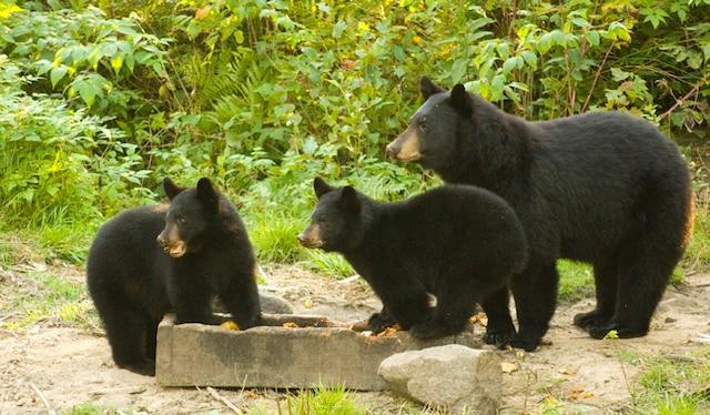 Lors d'une excursion, nous avons eu la chance d'observer des ours sur des sites appâtés.