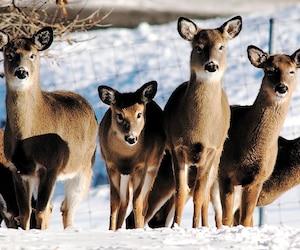 Les cerfs de 23 États américains et de deux provinces du pays sont touchés par une épidémie susceptible d'atteindre les humains.