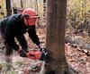 Michel Denis procède à l'abattage d'un hêtre à grandes feuilles à cause de la maladie corticale du hêtre abondante dans le secteur Saint-Calixte dans Lanaudière.