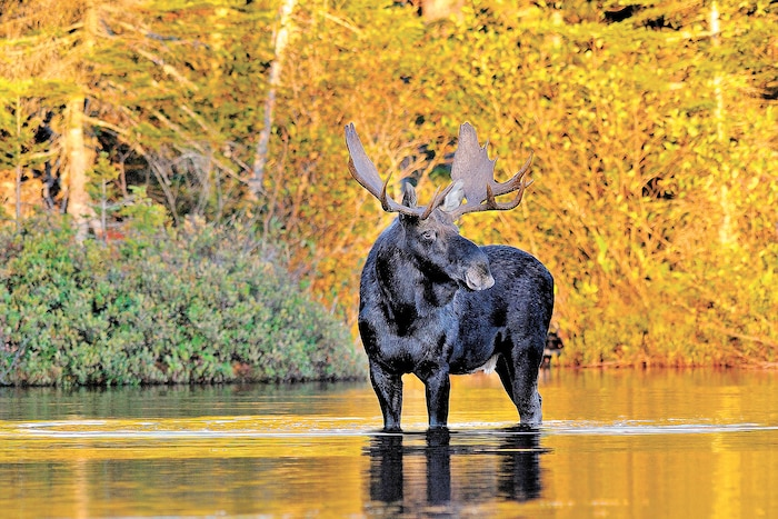 L'orignal demeure le gibier le plus recherché par de nombreux chasseurs. À le voir ainsi, on comprend pourquoi il porte le nom de roi de la forêt.