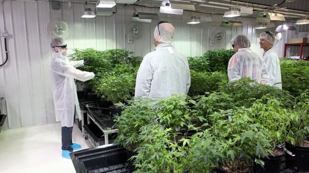 des cv par centaines dans les usines de cannabis