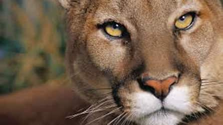 numero de cougar magog