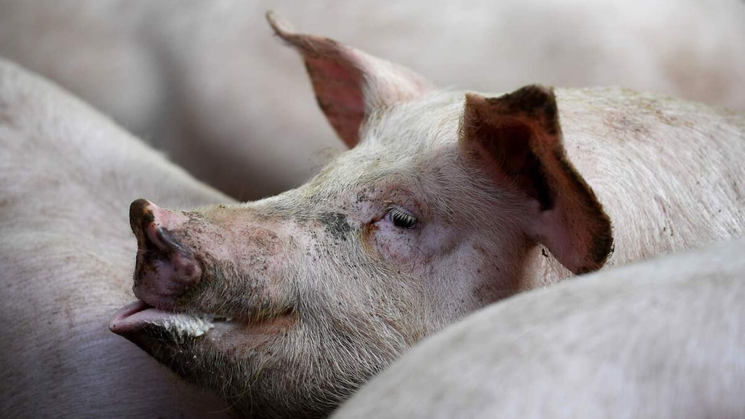 La Chine ferme la porte à la viande canadienne