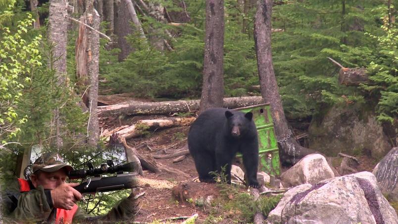 La saison de la chasse à l'ours à son meilleur