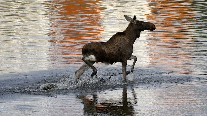 A moose wades in the Vistula river in central Warsaw