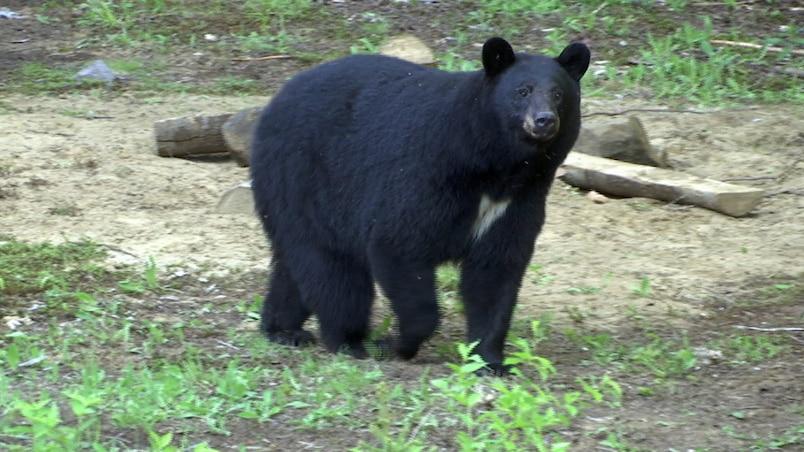 QVO : chasse à l'ours à la Pourvoirie Mekoos